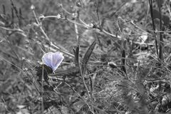 Borboleta do amandus de Polyommatus que recolhe o néctar destacado sobre Imagens de Stock Royalty Free