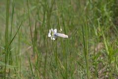Borboleta do amandus do Lycaena com as asas fechados, recolhendo o néctar Fotos de Stock Royalty Free