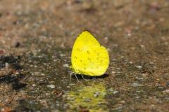 Borboleta do amarelo da grama do monte Fotografia de Stock Royalty Free