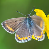 Borboleta do bellargus de Polyommatus Foto de Stock Royalty Free
