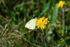 Borboleta do branco de jardim da couve em uma flor foto de stock royalty free