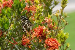 A borboleta do cal/limão ou cal/Chequered Swallowtail em um demoleus vermelho de Papilio da flor fotografia de stock