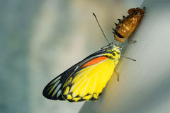 Borboleta do close up, e crisálida da borboleta Fotos de Stock