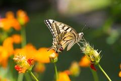 Borboleta do close up na flor Fotografia de Stock Royalty Free