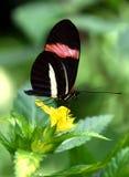 Borboleta do erato de Heliconius, carteiro vermelho na flor tropical amarela Fotografia de Stock