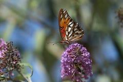 Borboleta do fritillary do golfo na flor Fotos de Stock Royalty Free