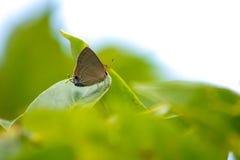 Borboleta do jangala de LycaenidaeRemelana em uma planta Foto de Stock Royalty Free