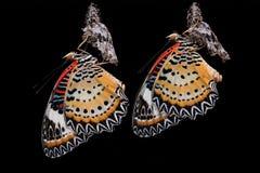 A borboleta do Lacewing do leopardo Fotografia de Stock Royalty Free