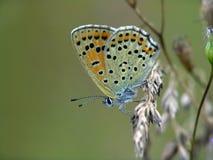 A borboleta do Lycaenidae da família. imagens de stock royalty free