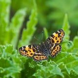 A borboleta do mapa com asas espalhou largamente imagens de stock royalty free