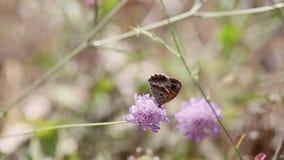 Borboleta do marrom do prado do jurtina de Maniola que alimenta em uma flor selvagem do atropurpurea de Scabiosa na natureza video estoque