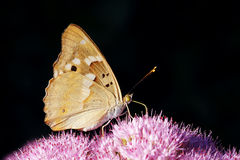 Borboleta do Nymphalidae Foto de Stock Royalty Free