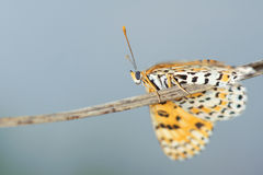 Borboleta do Nymphalidae Fotografia de Stock