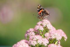 Borboleta do Nymphalidae fotos de stock