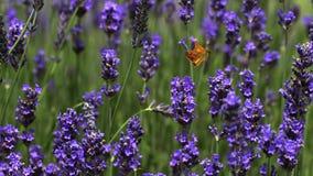 A borboleta do porteiro, tithonus do pyronia, sugando o néctar de Laverder floresce, Normandy, filme