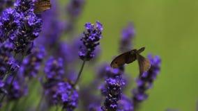A borboleta do porteiro, tithonus do pyronia, sugando o néctar de Laverder floresce, Normandy, video estoque