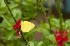 Borboleta do snelleni do blanda de Eurema do amarelo da grama de três pontos Foto de Stock Royalty Free