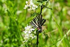Borboleta do swallowtail da zebra fotografia de stock