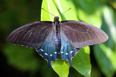 Borboleta do swallowtail de Pipevine foto de stock royalty free