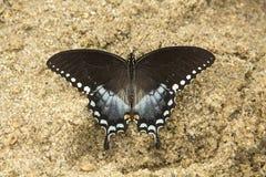 Borboleta do swallowtail de Spicebush na praia no parque estadual de Nickerson imagens de stock