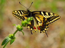 A borboleta do swallowtail do tigre aterra nos jardins para uma visita imagens de stock