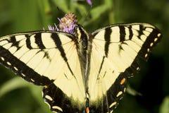 Borboleta do swallowtail do tigre em uma flor da bergamota da alfazema imagens de stock