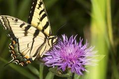 Borboleta do swallowtail do tigre em uma flor da bergamota da alfazema foto de stock royalty free