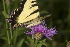 Borboleta do swallowtail do tigre em uma flor da bergamota da alfazema imagem de stock