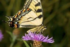 Borboleta do swallowtail do tigre em uma flor da bergamota da alfazema fotografia de stock