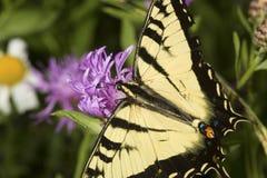 Borboleta do swallowtail do tigre em uma flor da bergamota da alfazema foto de stock