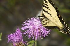 Borboleta do swallowtail do tigre em uma flor da bergamota da alfazema fotos de stock