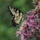 Borboleta do swallowtail do tigre na urze imagens de stock royalty free