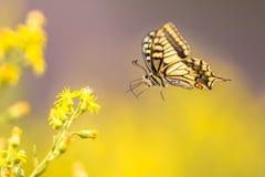 Borboleta do swallowtail do Velho Mundo do voo foto de stock royalty free
