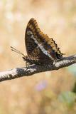 borboleta Dois-atada do Pasha, jasius de Charaxes, no ramo Imagens de Stock Royalty Free