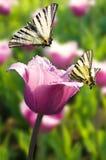 Borboleta dois no tulip roxo Fotos de Stock Royalty Free