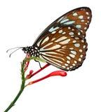 A borboleta dos similis dos similis de Radena isolada no fundo branco, igualmente conhecido como o azul do liuchiou manchou a bor Imagens de Stock Royalty Free