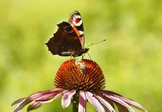 Borboleta e abelha Imagens de Stock Royalty Free
