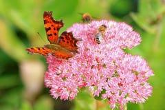 Borboleta e abelhas da vírgula (c-álbum do Polygonia) em Fette Henne Foto de Stock