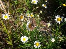 Borboleta e Daisys fotografia de stock