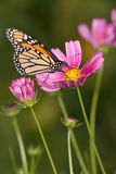 Borboleta e flores de monarca imagem de stock