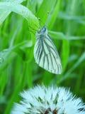 A borboleta e o dente-de-leão brancos fluff no prado, Lituânia fotos de stock royalty free