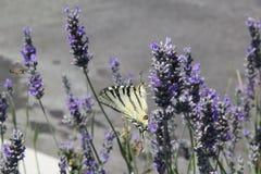 A borboleta e uma abelha em uma alfazema colocam Fotografia de Stock Royalty Free