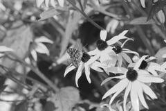 A borboleta em Brown eyed susans Imagens de Stock