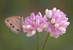 Borboleta em flores Fotografia de Stock