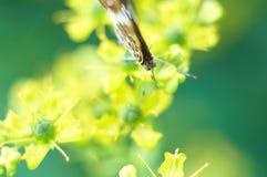 Borboleta em flores amarelas Foto de Stock Royalty Free
