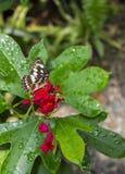 Borboleta em flores vermelhas Fotografia de Stock