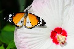 Borboleta em moscheutos do hibiscus imagem de stock