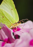 A borboleta em um phlox. Macro. Foto de Stock