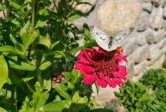 borboleta em uma cabeça de flor do zinnia fotos de stock royalty free