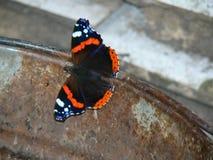 borboleta em uma cubeta Imagens de Stock
